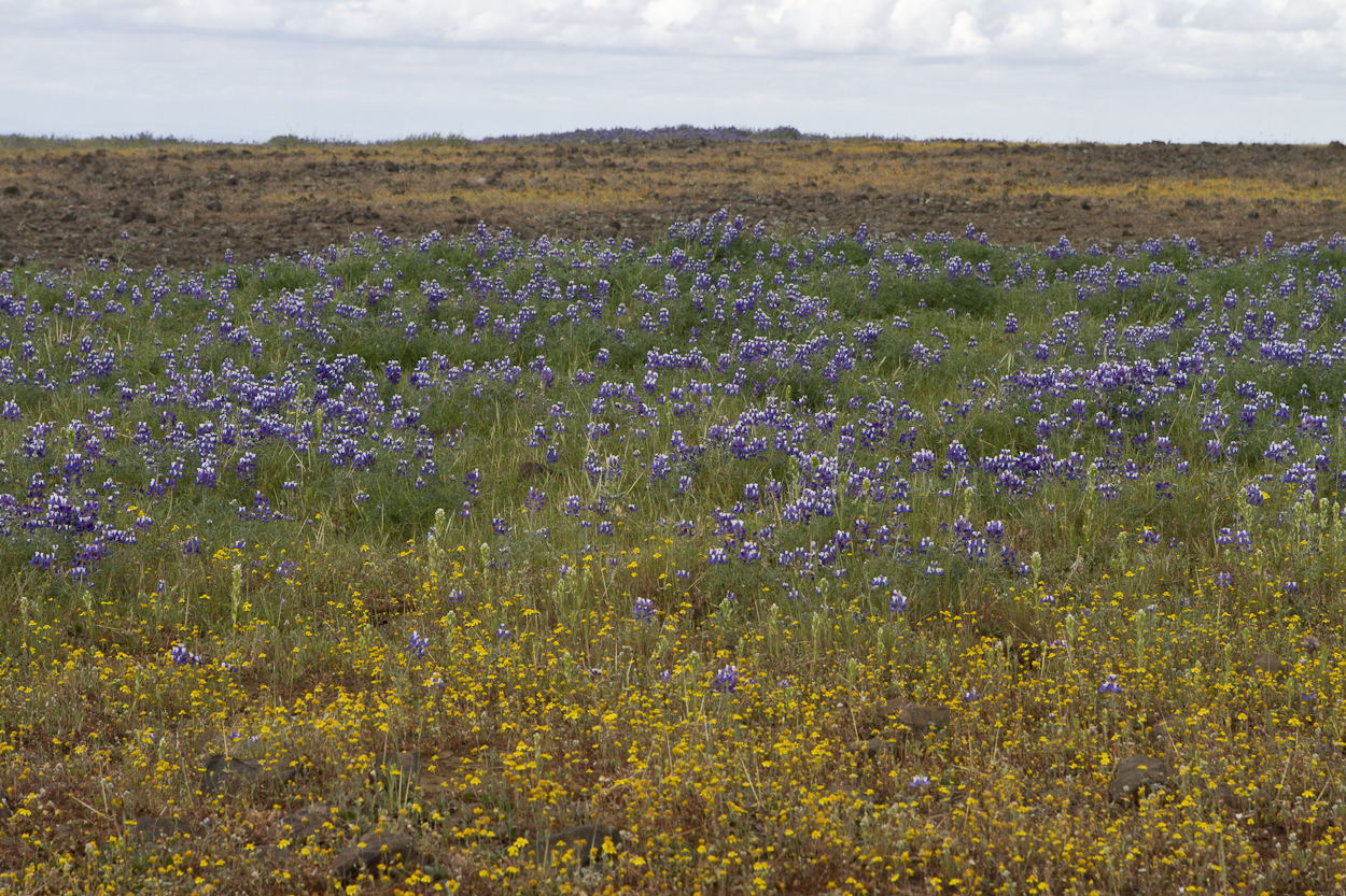 Wild flowers bloom in North Table Mountain Ecological Reserve  in March 2015. Photo by Clay Duda.