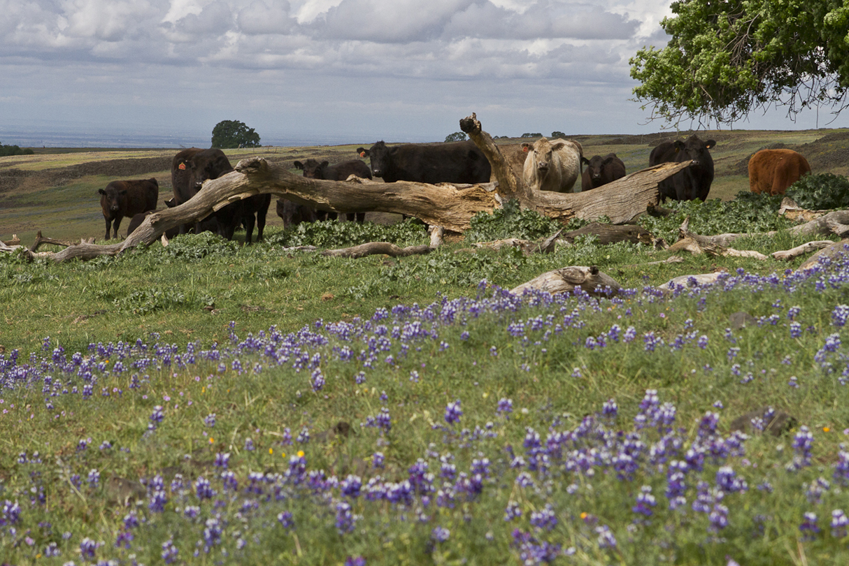 Cows at Table Mountain. Photo by Clay Duda.