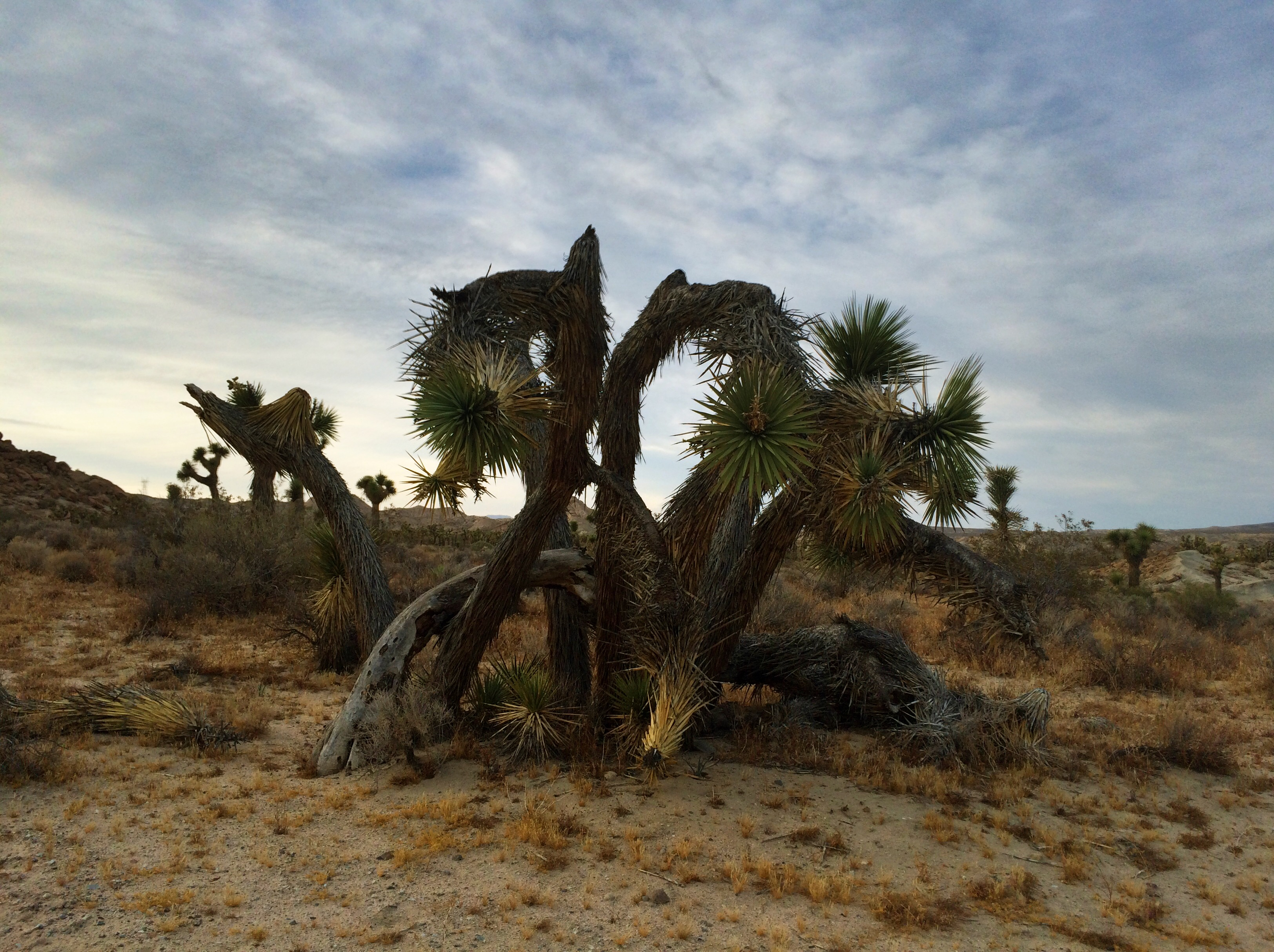 A rather gnarly Joshua tree growing in the Mojave Desert. Photo by Clay Duda.