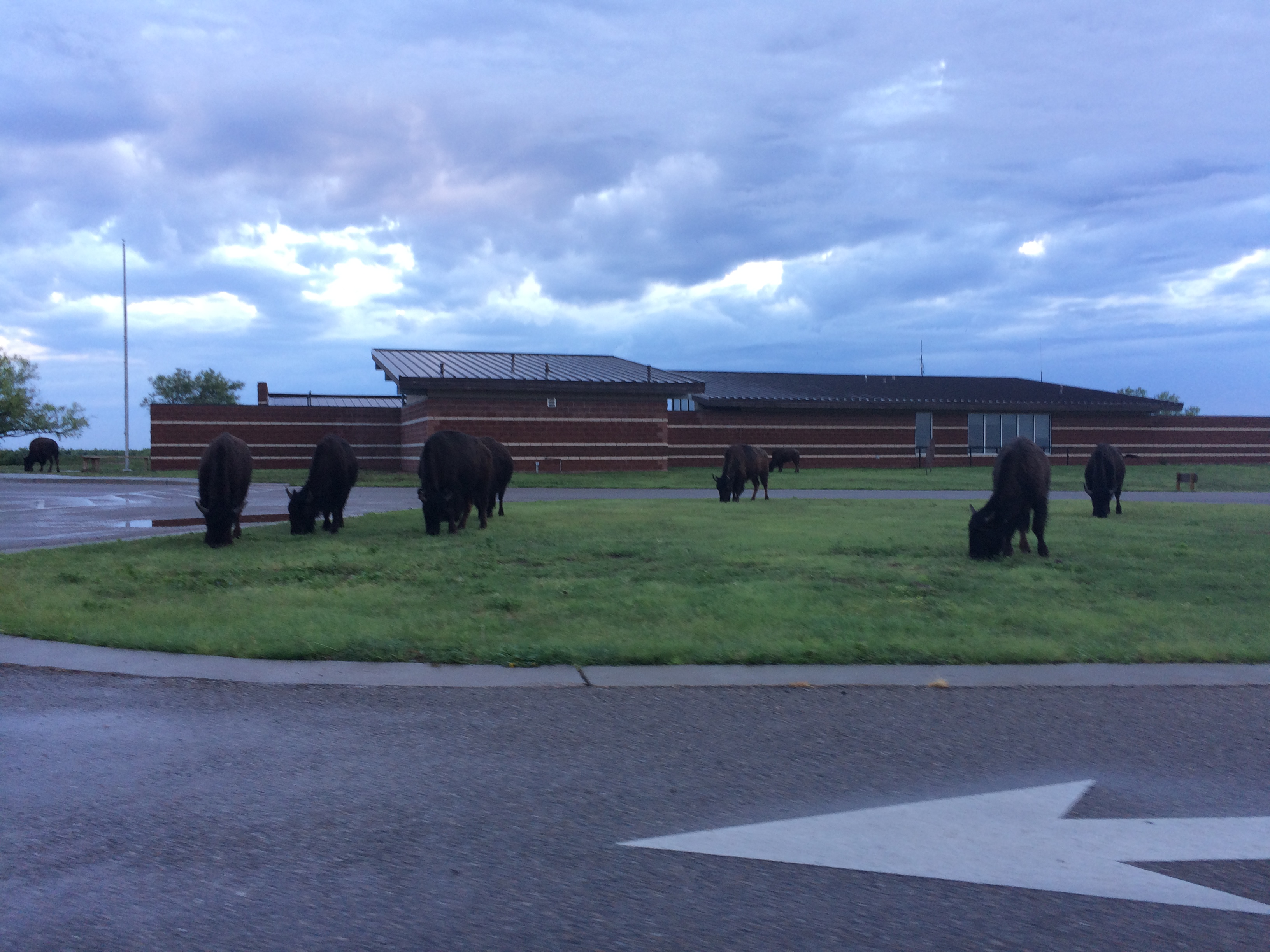 Texas' official bison herd at Caprock Canyons State Park near Quitaque, TX. Photo by Clay Duda.