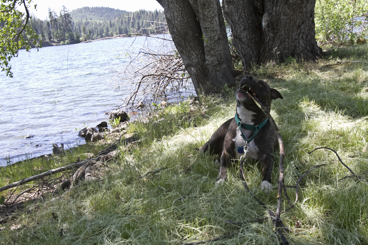 Peaches the pit bull eats a stick on shore of Lake Britton, California. Photo by Clay Duda.