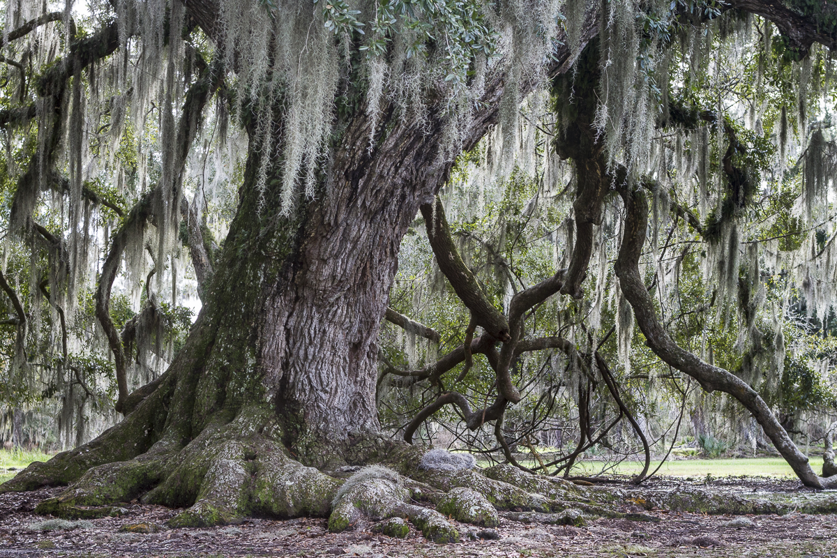 Spanish moss hangs from an oak tree in Louisiana. Photo by Clay Duda.