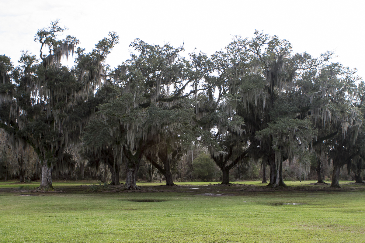 Moss-lined oak trees at Fontainebleau State Park on the north shore of Lake Pontchartrain. Photo by Clay Duda.