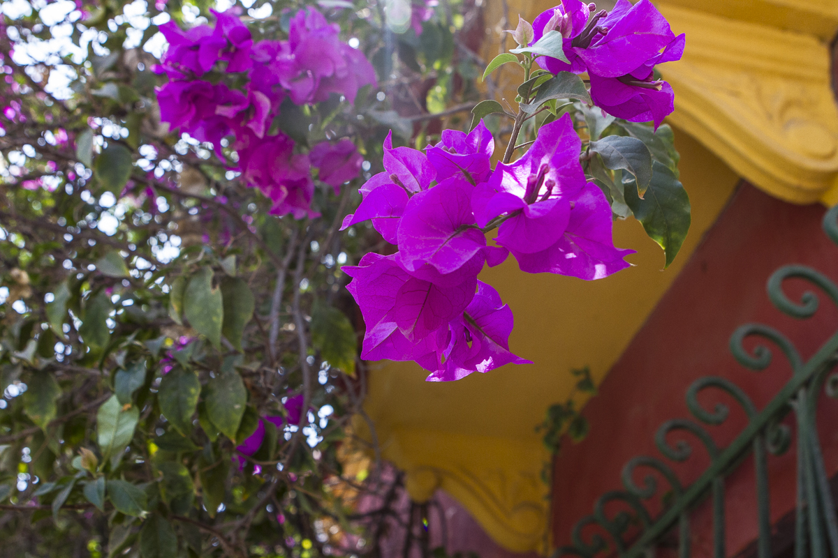 Flowers bloom in February in the Getsmani neighborhood of Cartagena, Colombia. Photo by Clay Duda.