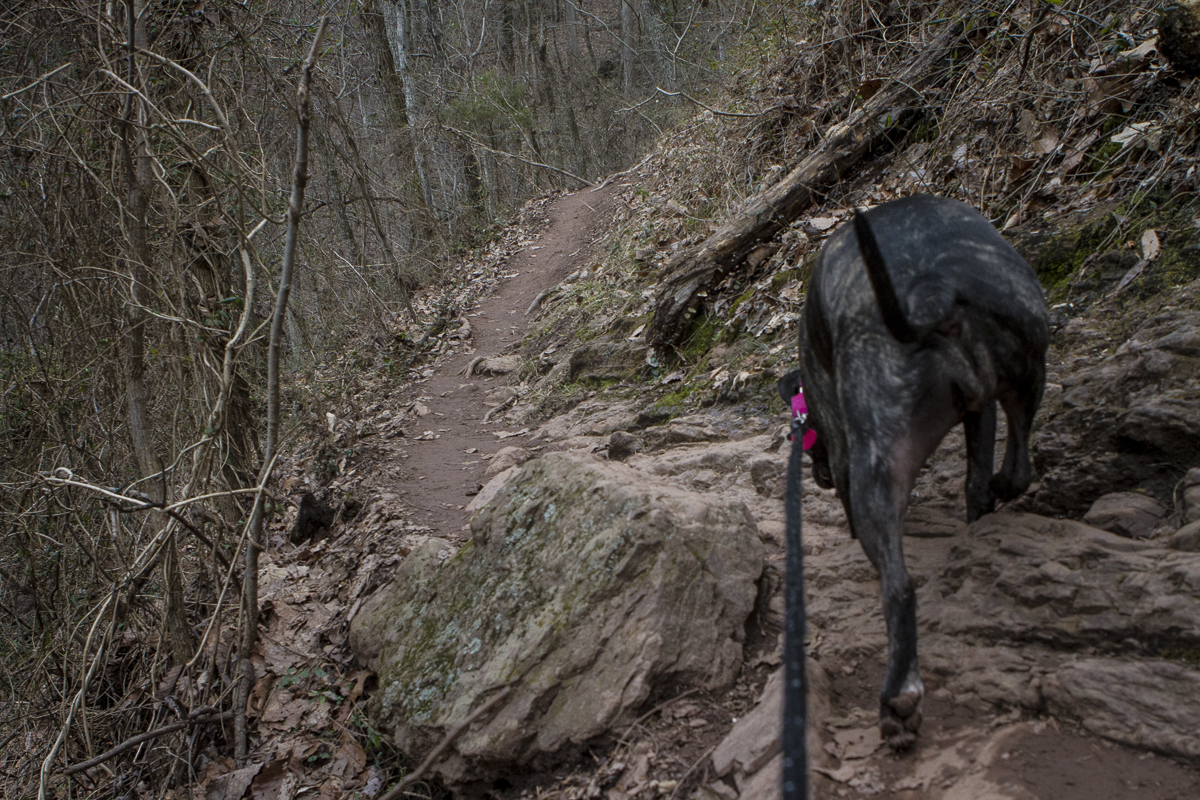 Peaches the Pit Bull makes her way up House Mountain in East Tennessee. Photo by Clay Duda.