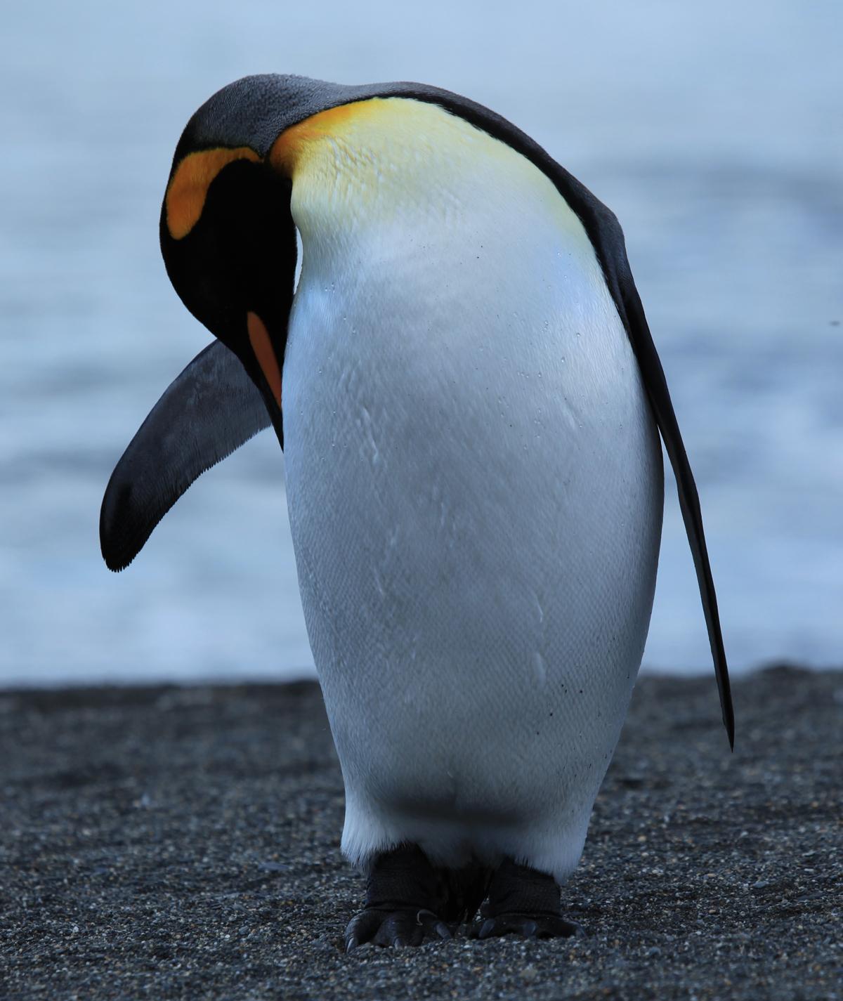 https://commons.wikimedia.org/wiki/File:King_Penguin_grooming_(5848678253).jpg